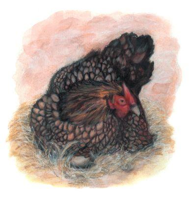 Gloria-the-Wyandotte-Chicken-September-2019