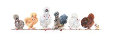 7-Silkie-Bantams-Artworks-Page-Christmas-2020